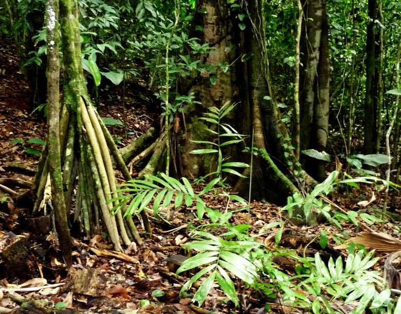 "The spindly roots on the left are ""walking palm"" struts. They also have semi-lethal spines, so don't touch. Buttressed roots are common in the rainforest. The soil isn't very deep, so the roots have to spread out to capture nutrients."