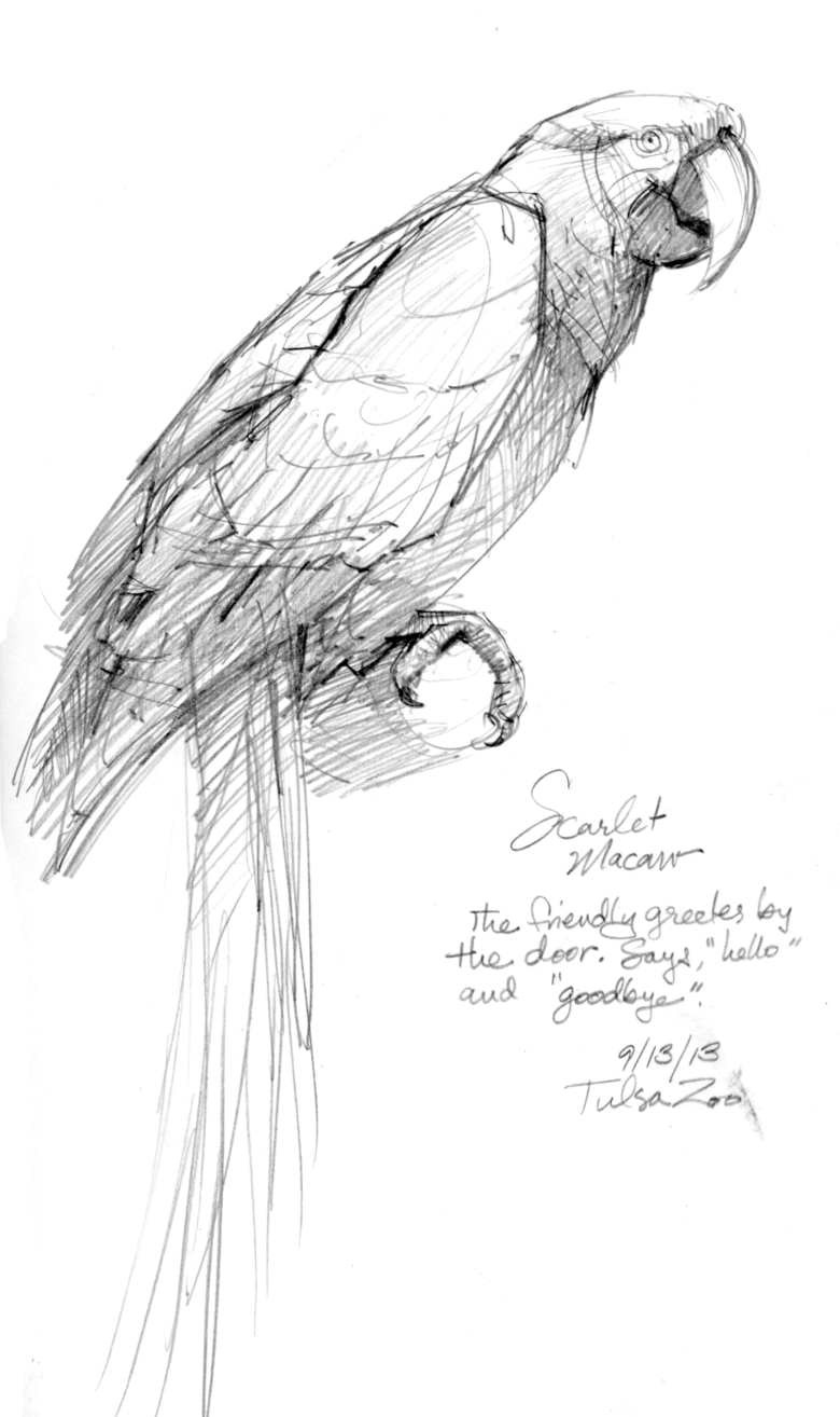 Scarlet Macaw at the Tulsa Zoo's Rainforest walkthrough. A version of this sketch appeared in Oklahoma Today magazine.
