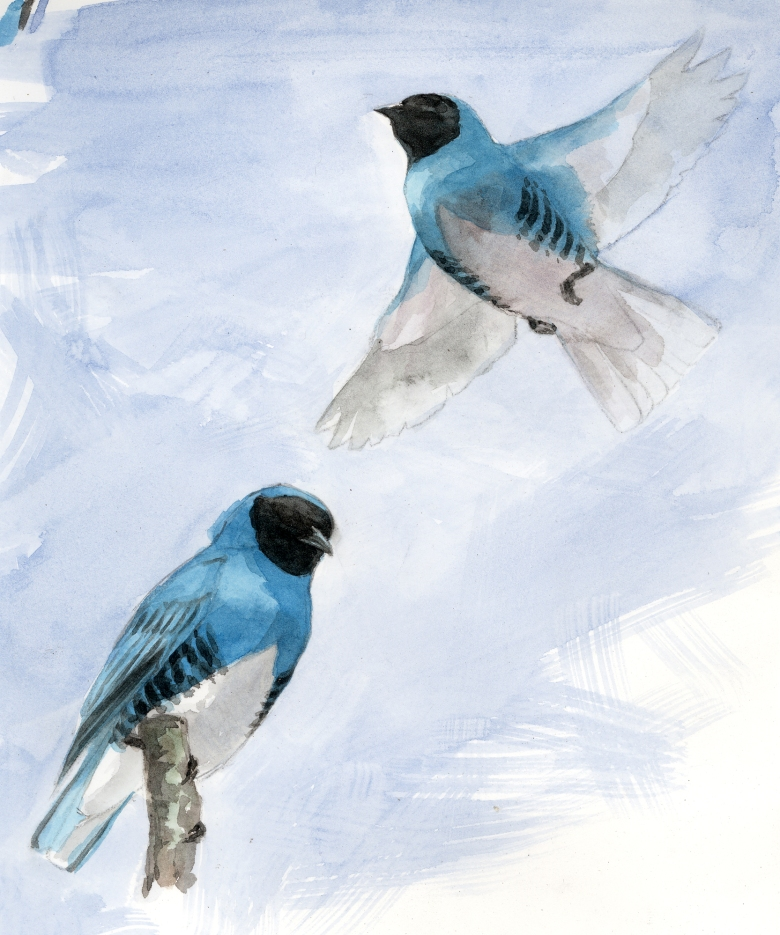 Swallow tanagers hawk insects from the treetops, where I sketched them in the Amazon. I stood on a platform about 150 feet up as I did so. This is watercolor.