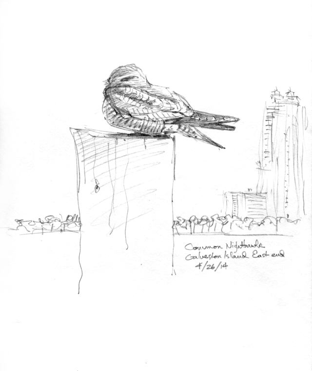 "Common nighthawk on a post near the beach condo tower, Galveston Island. Pencil, 8"" x 10"""