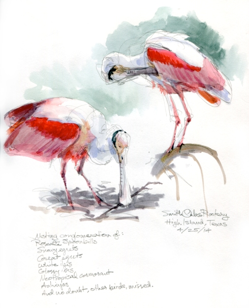 "Roseate spoonbills preening and moving nesting material around; High Island's Smith Woods rookery, Bolivar Peninsula, Texas. Watercolor over pencil, drawn through a dinky Nikon field scope to great amusement from the Guys with the Giant Camera Lenses. 8 1/2"" x 11, Stillman & Birn Alpha sketchbook."