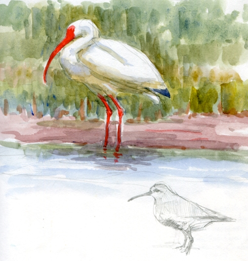 White ibis and dunlin, Galveston East End marsh. Watercolor over pencil.