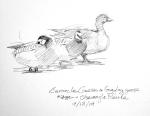 Barnacle geese, Olsemagle Marsh, Denmark