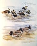 Lapwings and Oystercatchers, Olsemagle Marsh, Denmark