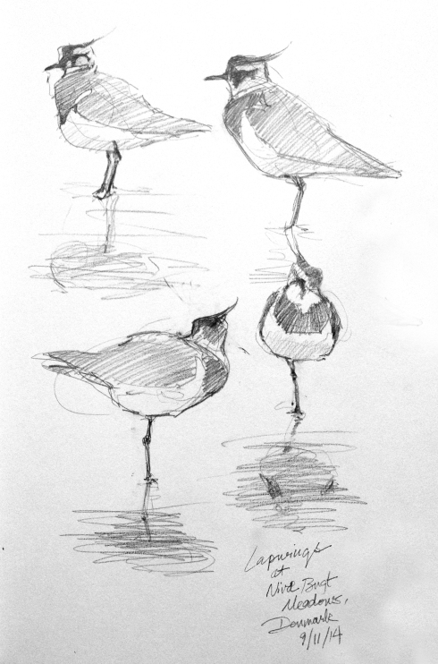 "Flock of Lapwings, drawn through the scope at Niva Bugt Meadows on the coast north of Copenhagen. Beautiful and accessible on foot from the train station. Pencil in Stillman & Birn 8 1/2"" x 11"" Alpha Series Sketchbook."