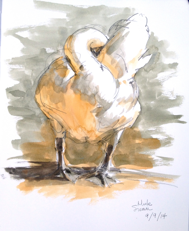 """Mute swan, checking under the hood. Sketched at the Christianshavn rampart lakes, or """"Stadsgraven"""". Watercolor over pencil, Stillman & Birn 8 1/2"""" x 11"""" Alpha Series sketchbook."""
