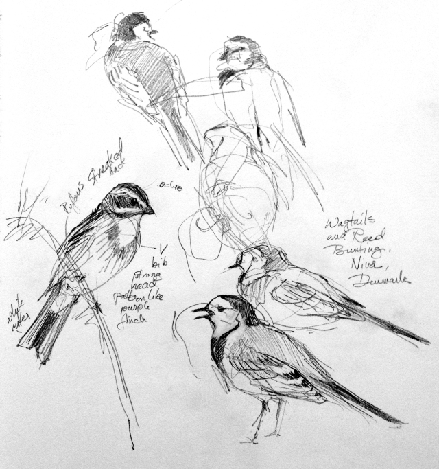 """Pied wagtails and Reed bunting, I think. New bird on me. Sketched at Nivå Bugt Meadows north of Copenhagen. On the reedy, marshy side of the refuge. Mechanical pencil on Stillman & Birn Alpha Series 8 1/2"""" x 11"""" sketchbook."""