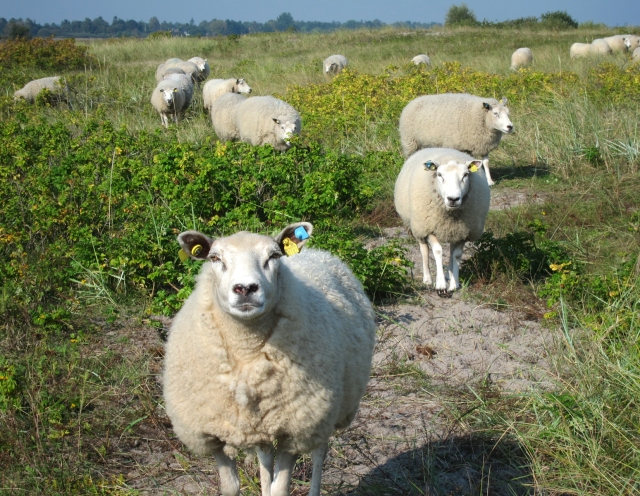 Flock of gentle sheep, sans ram, helps keep down the invasive beach roses growing everywhere. Reminds me I need to look for a warm sweater before winter sets in.