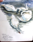 Mute Swans, Copenhagen