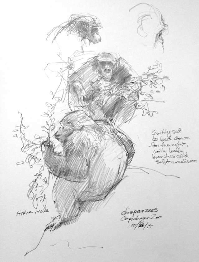 """Lights out at the Chimp House. The troupe is furnished with leafy branches, which they chew on, and armloads of excelsior, which they gather around themselves and make into duvets and comforters and feather beds. All very hygge at the zoo, Copenhagen. Pencil in Robert Batement 8 1/2"""" x 11"""" sketchbook."""