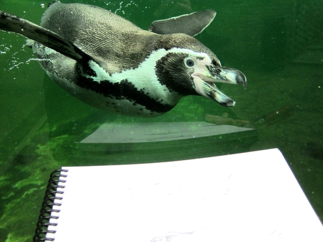 Humboldt's penguin, Copenhagen Zoo, inordinately attracted to my red mechanical pencil. Did it look like a fish?