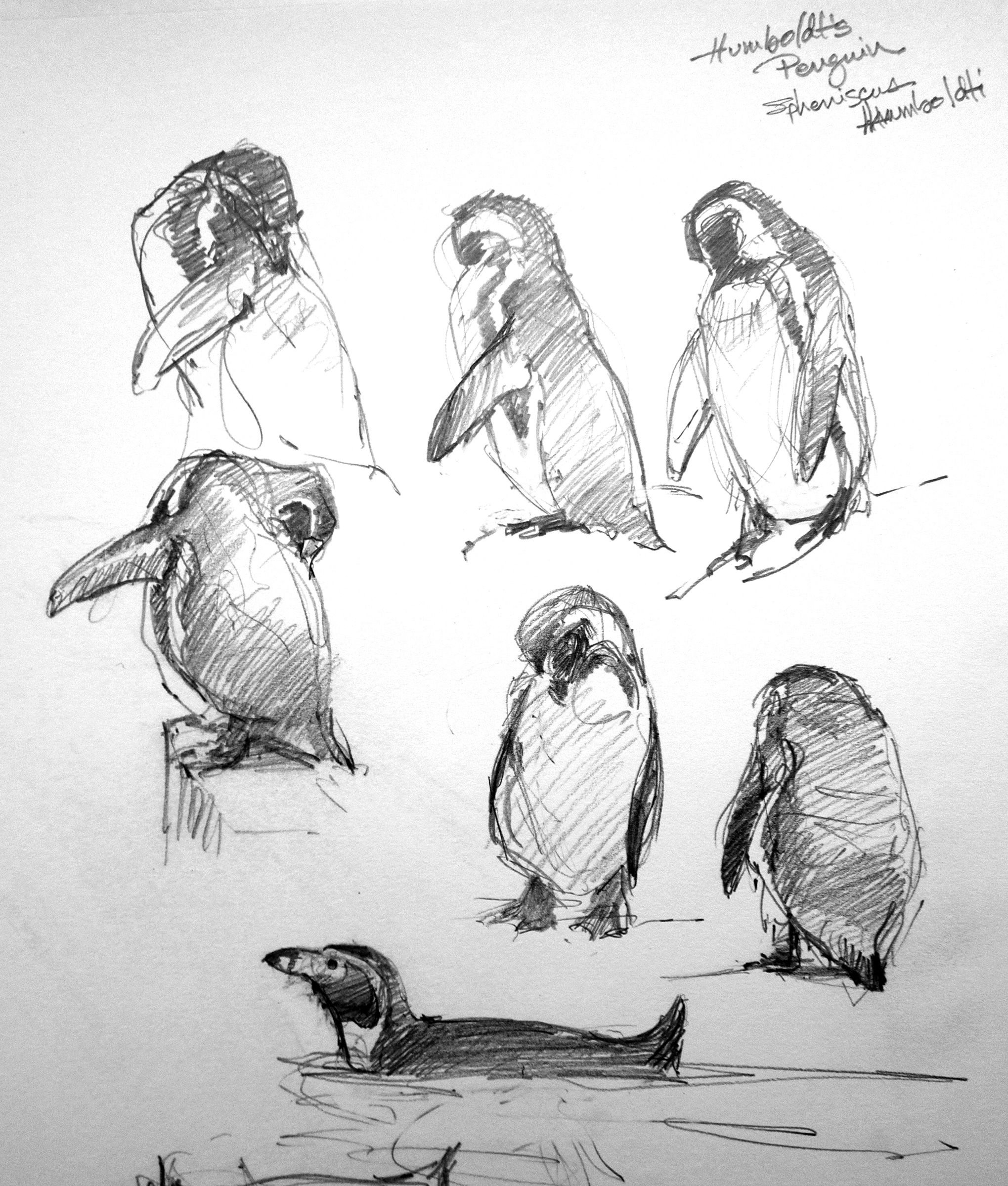 Humboldts penguins copenhagen zoo pencil on robert bateman 8 1 2 x