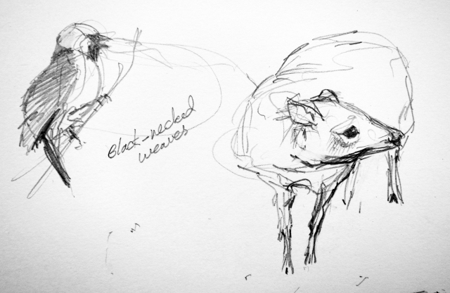 """Lesser Malayan Mouse Deer,  black-necked weaver, Copenhagen Zoo. Pencil on Robert Bateman 8 1/2"""" x 11 sketchbook."""