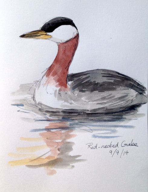 "Red-necked grebe swimming around and catching fish at the ramparts in Christianshavn.  Sketched through the scope and painted while sitting on a park bench by a path with a continual stream of dog walkers, joggers, bike riders and babies in perambulators (there's no such thing as a stroller here- just baby carriages). Watercolor over pencil in Stillman & Birn Alpha Series sketchbook., 8 1/2"" x 11"""