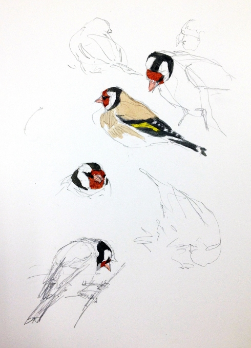 European goldfinches, Doñana