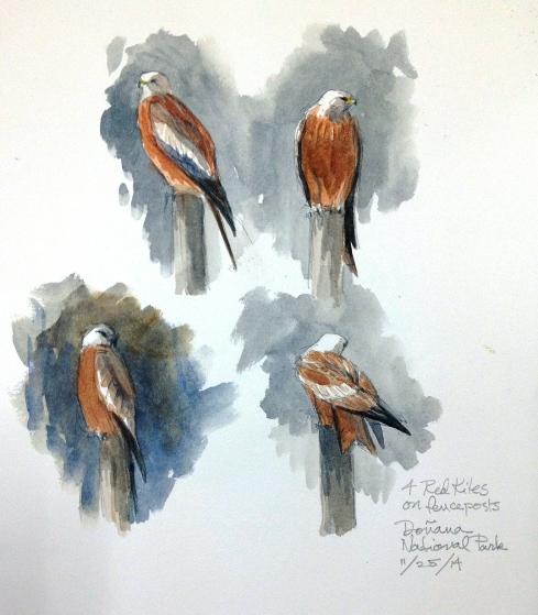 Red kites, Doñana