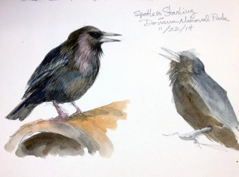 Spotless Starlings, Doñana