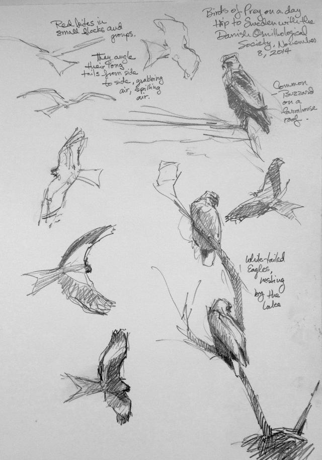 Red kites, white tailed eagles, common buzzard.