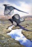 Black billed magpie watercolor