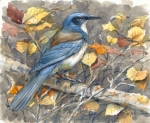 Scrub jay watercolor