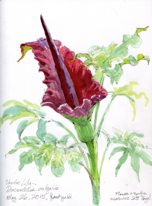 "Voodoo lily, Dracunculus vulgaris, abloom by the front porch. Its magnificence is only exceeded by is putrid odor. Awesome flower. Watercolor over pencil, 8 1/2"" x 11"" Stillman & Birn Alpha Series."