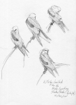 One of three pages of white-tailed kite scope-drawn studies. Same bird, all three pages.