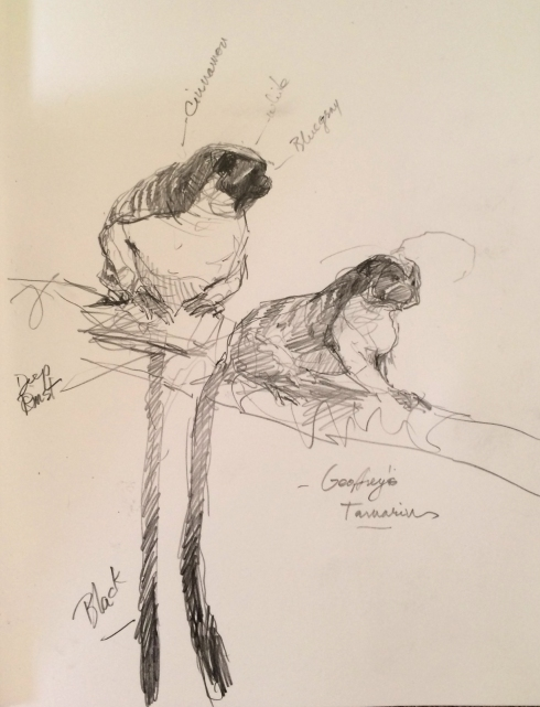"Geoffroy's Tamarins, Gamboa. Cute as a cross between a cat and a monkey, with perfectly white, sharp teeth. Sings like a bird. Pencil on Stillman & Birn Epsilon 8 1/2"" x 11""."
