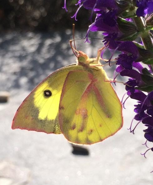 butterflies Southern dogface