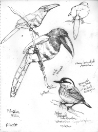 CanopyBirds2Aracaritody