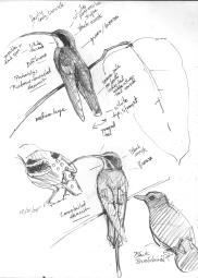 HermitsBushbird