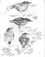 Manakinswarbantbird
