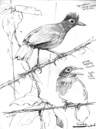 SootyAnbirds