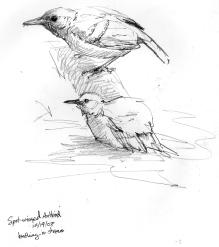 SpotwingedAntbirdbath