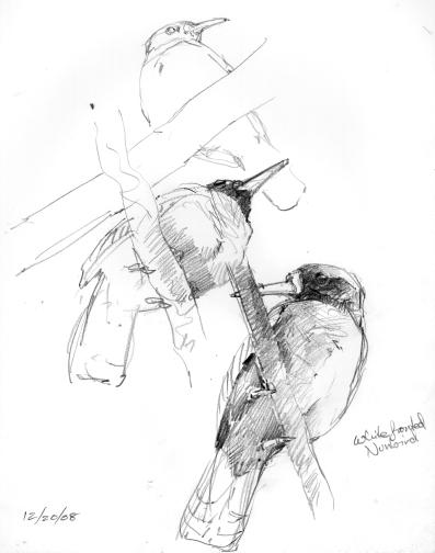 whitefrontnunbirds